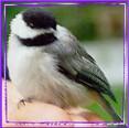 chickadee-hand-frame1